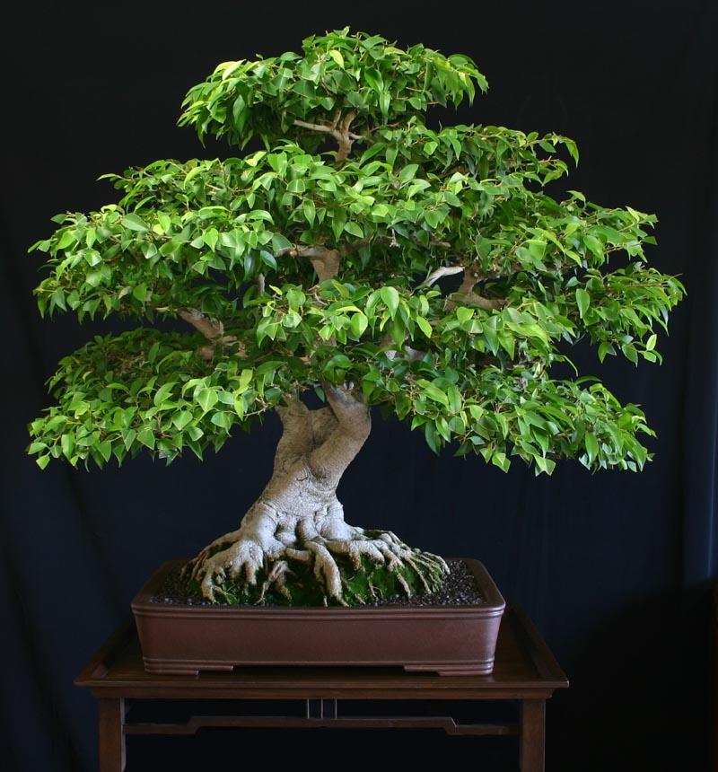 Ficus - Variedades