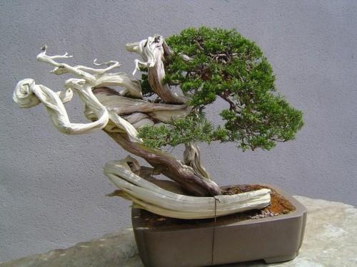 El bonsai a partir de la propagación de otras plantas
