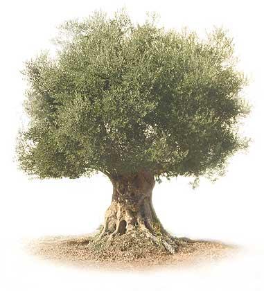 Olivo - Olea Europaea.